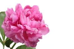 Розовый пион Стоковые Изображения