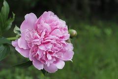 Розовый пион Стоковые Изображения RF