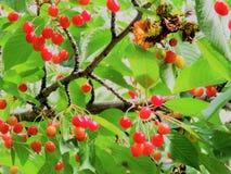 Розовый плодоовощ вишни на дереве Стоковые Фотографии RF