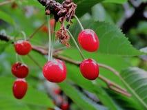Розовый плодоовощ вишни на дереве Стоковое фото RF