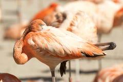 Розовый портрет фламингоа Стоковое Изображение