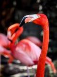 Розовый портрет фламингоа Стоковые Изображения RF