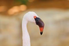 Розовый портрет фламингоа Стоковое фото RF