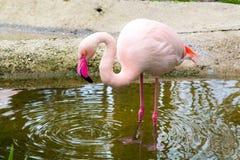 Розовый портрет фламингоа Стоковое Фото