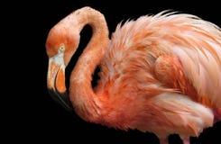 Розовый портрет фламингоа Стоковые Изображения