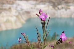 Розовый полевой цветок в горах Стоковая Фотография