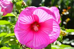Розовый представлять цветка rosemallow стоковая фотография rf