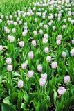 Розовый принц конфеты тюльпанов стоковое фото rf
