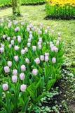 Розовый принц конфеты тюльпанов стоковая фотография
