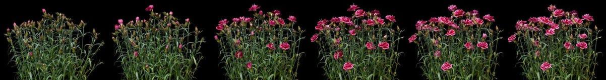 Розовый промежуток времени гвоздики Стоковые Фото