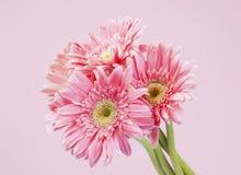 Розовый пук gerbera на розовой предпосылке Стоковая Фотография RF