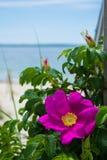 Розовый пляж поднял Стоковые Изображения RF