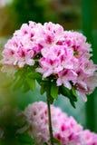 Розовый рододендрон цветка Стоковые Фотографии RF