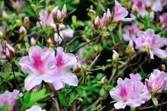 розовый рододендрон стоковое изображение