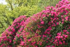 розовый рододендрон Стоковая Фотография RF