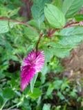 Розовый сад завода цветка Стоковые Фото