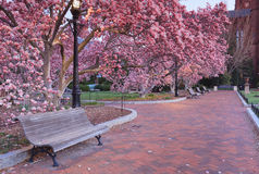 Розовый сад зацветая деревьев магнолии Стоковая Фотография RF