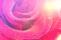 розовый сбор винограда Стоковое фото RF