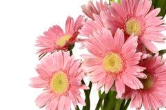 розовый солнцецвет Стоковые Изображения