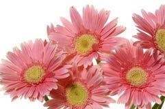 розовый солнцецвет Стоковая Фотография