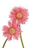 розовый солнцецвет Стоковое Изображение RF