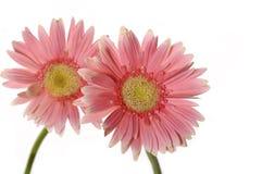 розовый солнцецвет Стоковое Изображение
