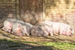 Розовый спать свиньи Стоковые Фотографии RF
