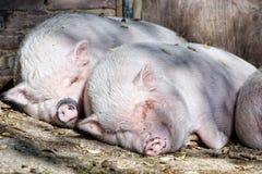 Розовый спать свиньи Стоковое фото RF