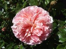 Розовый старый английский язык поднял Стоковые Изображения