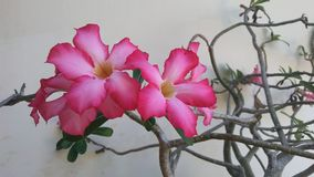 Розовый тропический цветок в цветени Стоковая Фотография RF