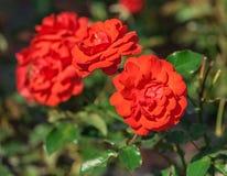 Розовый трубач ранга цветка, апельсин-шарлах придал форму чашки цветки Стоковое фото RF