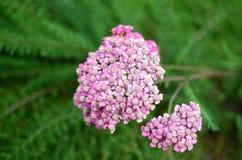 Розовый тысячелистник обыкновенный (millefolium Achillea) Стоковое фото RF