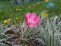 Розовый тюльпан на предпосылке травы и одуванчиков стоковые изображения rf