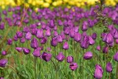 Розовый тюльпан стоковые фотографии rf