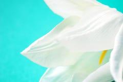 розовый тюльпан Стоковые Фото
