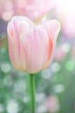 розовый тюльпан Стоковые Изображения RF