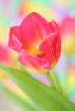 розовый тюльпан стоковое фото rf