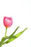 розовый тюльпан Стоковая Фотография RF