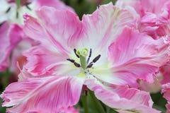 Розовый тюльпан в конце вверх Стоковая Фотография
