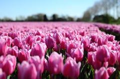 Розовый тюльпан в цветочном саде в Голландии Стоковая Фотография RF