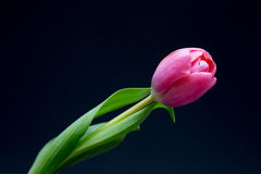Розовый тюльпан на черноте Стоковое Изображение