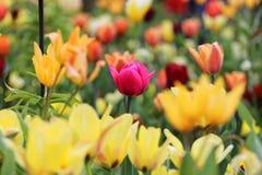 Розовый тюльпан среди желтого цвета Стоковые Изображения RF