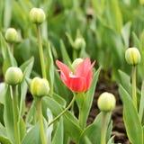 Розовый тюльпан среди неоткрытых бутонов Стоковое Изображение