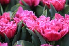 Розовый тюльпан с crenelated белыми краями стоковая фотография