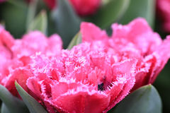 Розовый тюльпан с crenelated белыми краями стоковые изображения rf
