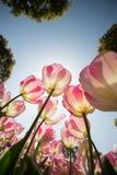 розовый тюльпан Стоковое Фото