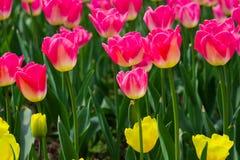 Розовый тюльпан стоковое изображение