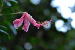 Розовый фарфор поднял стоковое фото rf