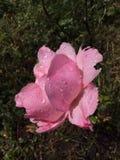 Розовый ферзь Стоковое Изображение
