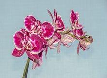Розовый фиолетовый конец орхидеи вверх по ветви цветет, задняя часть сини Стоковые Изображения